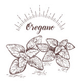 Oregano herb and spice label. Engraving illustrations for tags.