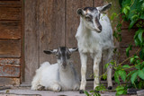 young curious goats