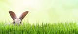 Osterhase versteckt auf einer Wiese