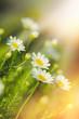 Daisy flower in meadow - beautiful flowering in spring