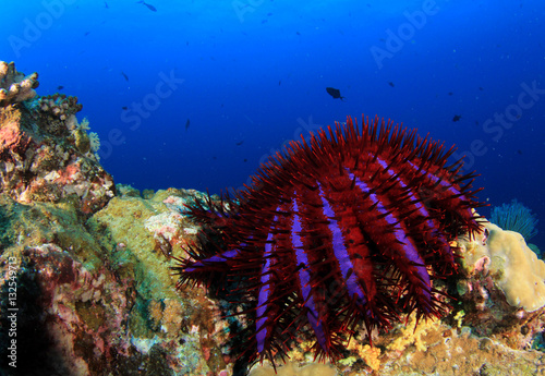 Poster Crown-of-Thorns Starfish