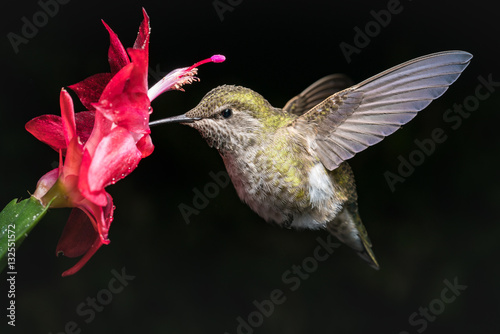 Poster Hummingbird and red flower with dark background