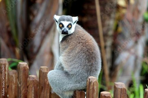 Poster Lémurien dans une réserve naturelle, Australie