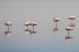 pink flamingos on swamp background