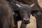 Young Buffalo calf head shot. Taken in Kenya.