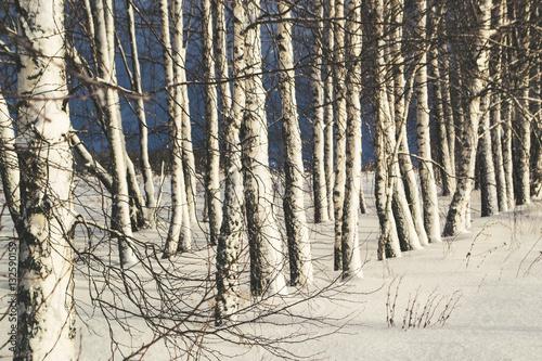 Winter landscape with birches