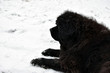 Newfoundland dog on winter.