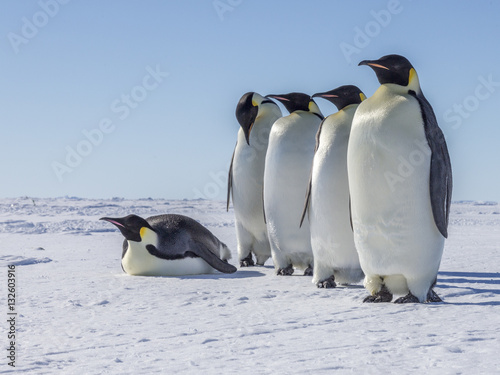 Papiers peints Antarctique Emperor penguins on the frozen Weddell Sea
