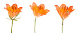 Orange lily flower. Isolated on white background