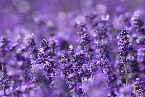 Papiers peints Lavande lavender flowers