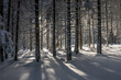 Winter conifer forest in Poland