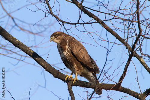 Poster Buteo Buzzard In The Tree / Bird