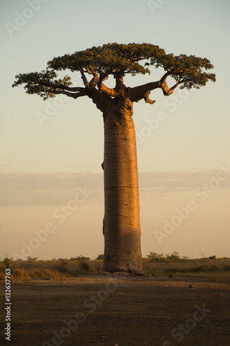 Foto op Plexiglas Baobab Baobab on Sunset