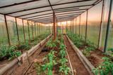 Tomatoes Vegetables Growing In Raised Beds In Vegetable Garden