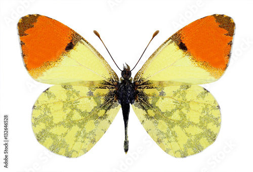Poster Butterfly Anthocharis damone (male) on a black background
