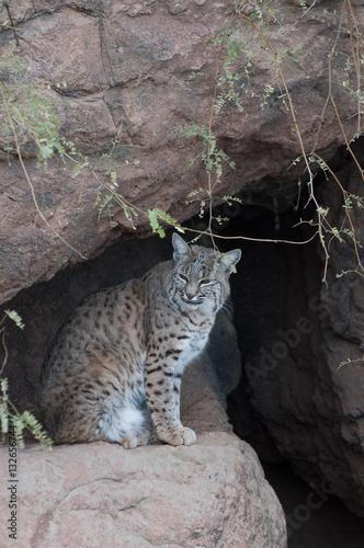 Poster Sitting Bobcat