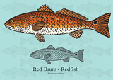Fototapety Red Drum, Redfish. Vector illustration for artwork in small sizes. Suitable for graphic and packaging design, educational examples, web, etc.