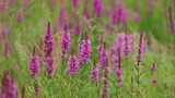Purple Wild flowers at meadow background