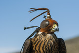 Cetrería con un halcón peregrino