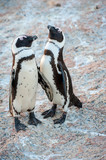 Two penguins that sleepy talk