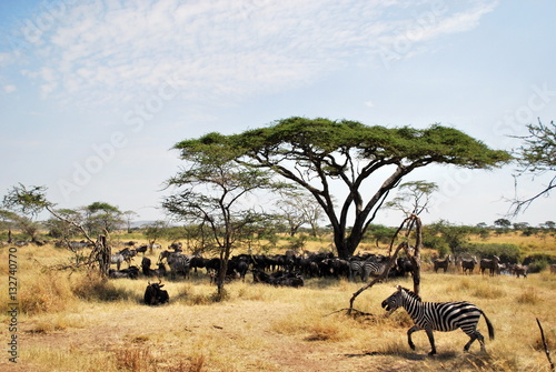 Poster Life on the Serengeti