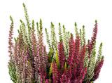 heather (calluna vulgaris)