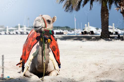 Foto op Canvas Abu Dhabi White camel.