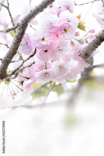 Poster Double cherry blossoms