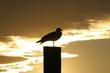 Dock gull