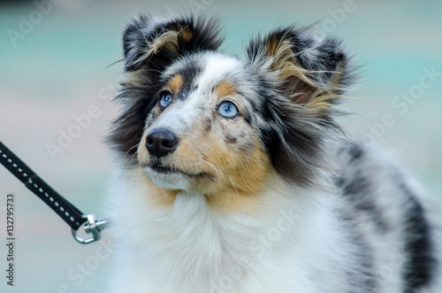 Foto op Plexiglas Kiev sheltie breed dog for a walk