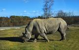 simpatico rinoceronte bianco che bruca lerba