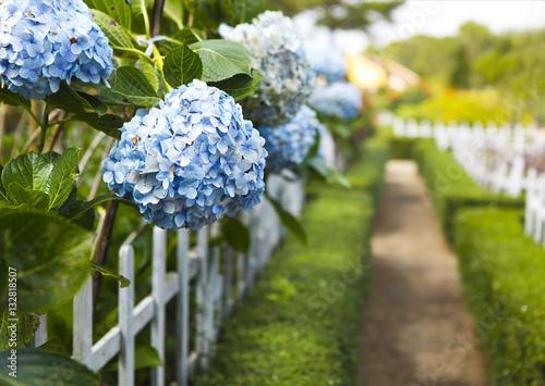 Aluminium Hydrangea Hydrangea flower (Hydrangea macrophylla) in a garden