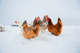 Beautiful bright chicken in snow - 132825540