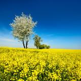 Blühender Kirschbaum in blühendem Rapsfeld unter blauem Himmel