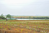 Sugar cane Fields in China