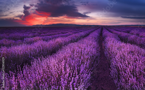 In de dag Violet Lavender fields. Beautiful image of lavender field. Summer sunset landscape, contrasting colors. Dark clouds, dramatic sunset.