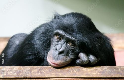 Foto op Canvas Aap chimpanzee chimp monkey ape (Pan troglodytes)