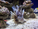 Deadly red lionfish among coral reef
