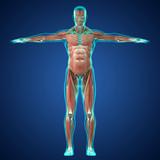 Sistema muscolare ricostruzione 3d