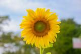 Yellow flower, Sunflower