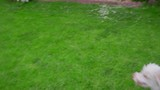 White poodle dog playing with ball on green grass. Pov of owner playing with white dog