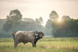 An African buffalo - Cape buffalo
