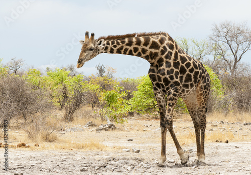 Poster Giraffe auf Nahrungssuche, Namibia