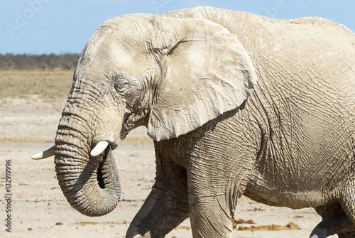 Poster Afrikanischer Elefant (African bush elephant Loxodonta africana)