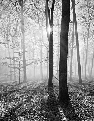 Kahler Buchenwald im Winter, Sonnenstrahlen dringen durch Nebel, Schwarz-Weiß - 132927774