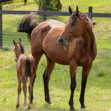 A bay mare with grass in her mouth and her new foal in a spring pasture. - 132957192
