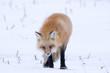 Winter Red Fox
