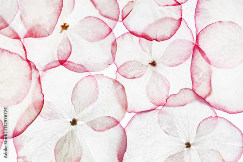 hydrangea petals isolated - 132976724