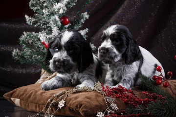 English Spaniel Puppy in black and white