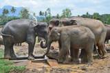 Слоны в питомнике (Шри-Ланка)